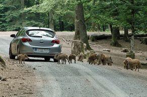 Wild- und Erlebnispark Daun – Besucher begegnen einer Wildschweinrotte
