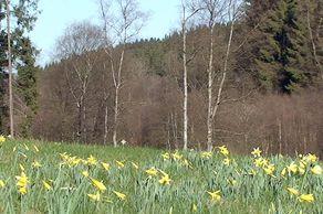 Narzissenwiese im Perlenbachtal vor Wald