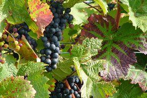 Rote Weintrauben – Weinreben am Rhein
