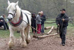 Rückepferd im Freilichtmuseum Kommern beim Holzrücken