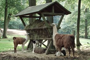Wild- und Erlebnispark Daun - Lamas bei der Fütterung
