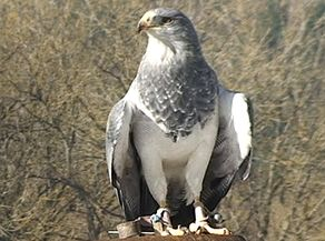 Greifvogel bei der Flugschau am Nachmittag im Adler- und Wolfspark