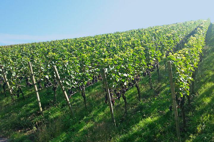 Weinstöcke an der Mosel © Foto Norbert Conzen