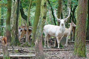 Hochwildpark Kommern – weißes Damwild