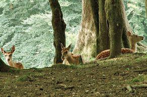 Wildpark in Daun – Damwild im Freigelände