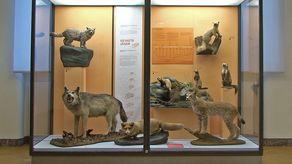 Der letzte in der Eifel geschossene Wolf in einer Vitrine im Zoologischen Forschungsmuseum Alexander Koenig