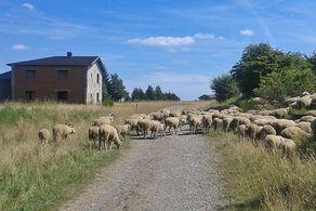 Schafsherde bei der Wüstung Wollseifen