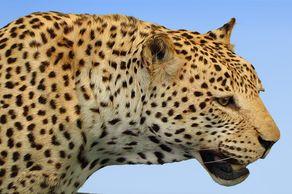 Museum Alexander Koenig – Leopard