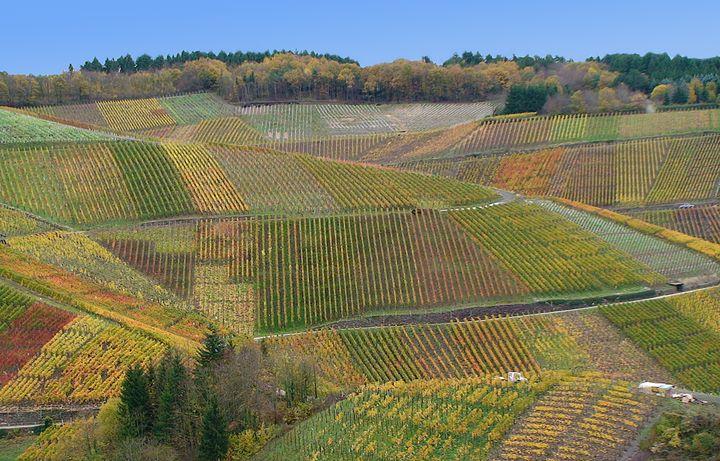 Weinberge an der Ahr bei Rech im Herbst © Foto Norbert Conzen