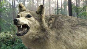 Der letzte Eifelwolf aus dem Bonner Museum Koenig in den Eifelwald gesetzt (Collage)